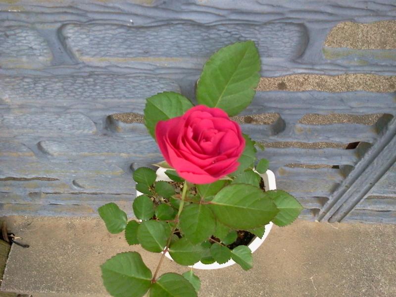 挿し木の薔薇