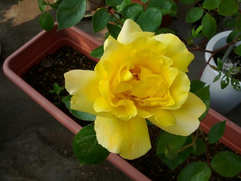 薔薇もぞくぞく咲いてます